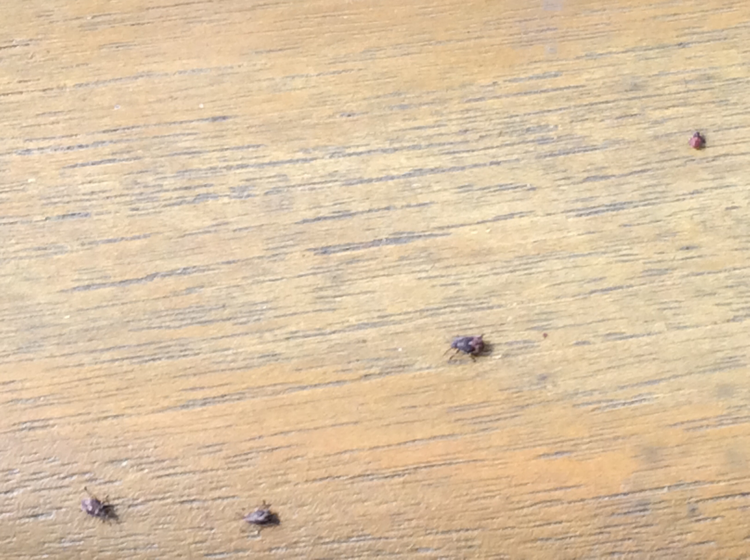 Small Brown Bugs In Kitchen Tiny Brown Bugs